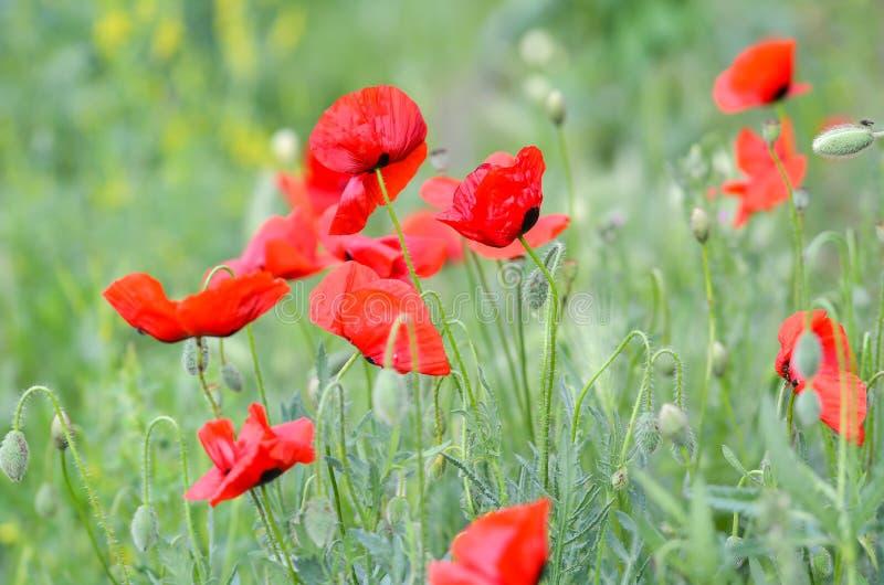 Il campo del papavero fiorisce un giorno ventoso fotografie stock libere da diritti