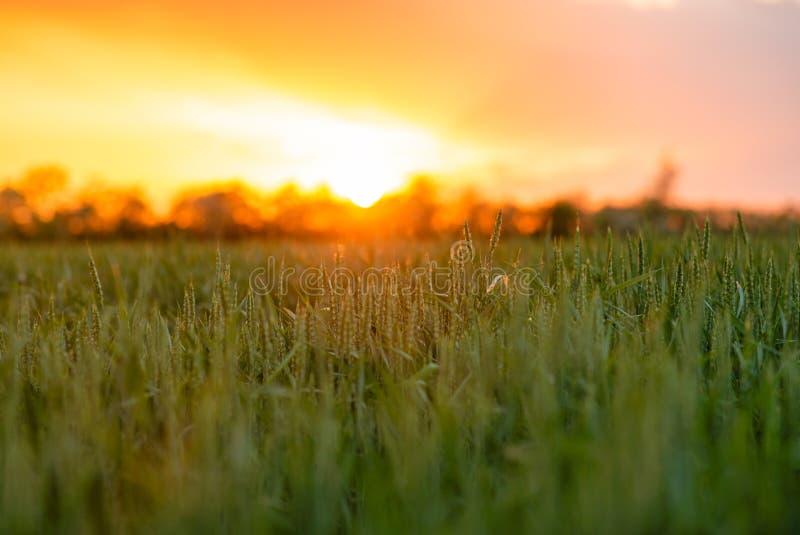 Il campo del tramonto del villaggio della Russia luminoso espone al sole il grano primaverile fotografie stock