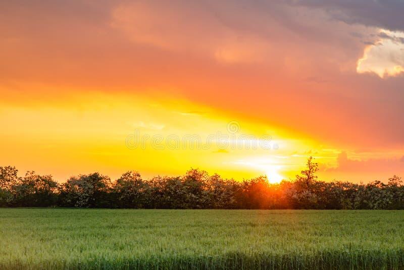 Il campo del tramonto del villaggio della Russia luminoso espone al sole il grano primaverile fotografia stock libera da diritti
