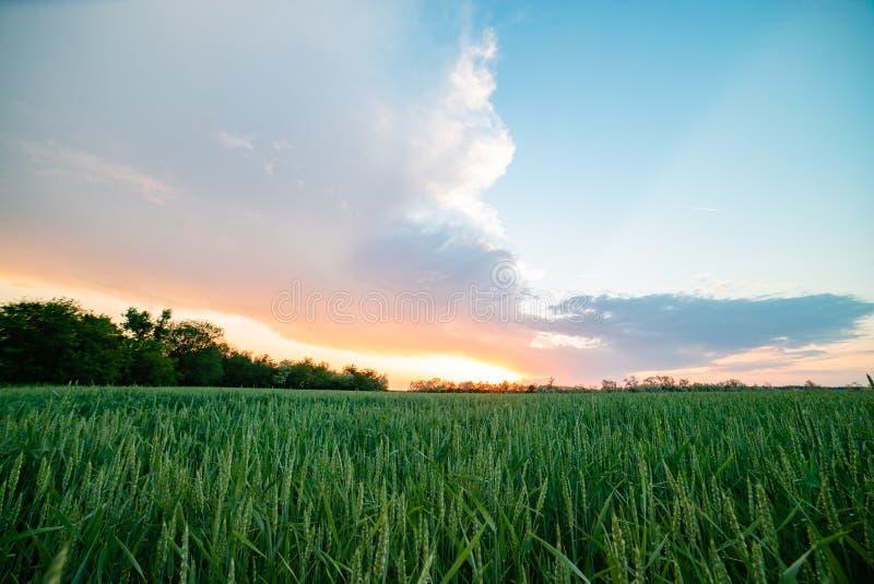 Il campo del tramonto del villaggio della Russia luminoso espone al sole il grano primaverile immagine stock