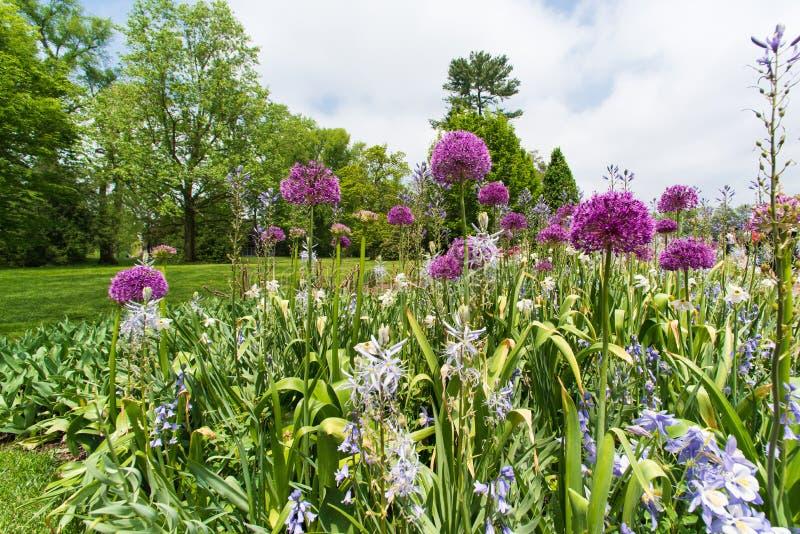 Il campo della cipolla decorativa di fioritura fiorisce nel giardino di primavera immagine stock