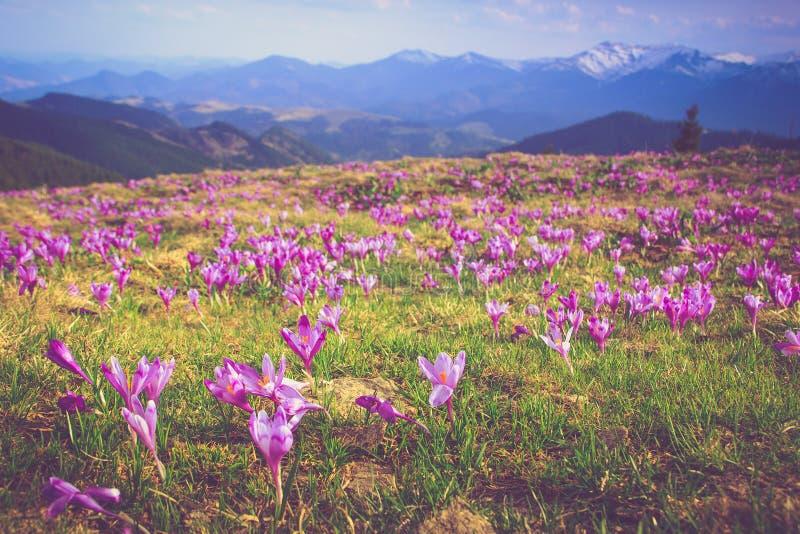 Il campo della prima molla di fioritura fiorisce il croco non appena la neve discende sui precedenti delle montagne al sole fotografia stock