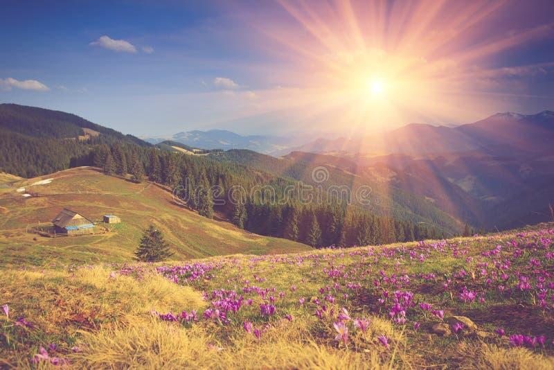 Il campo della prima molla di fioritura fiorisce il croco non appena la neve discende sui precedenti delle montagne al sole immagini stock
