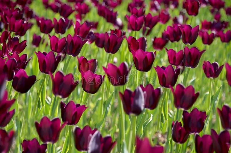 Il campo di grandi, tulipani porpora fotografia stock libera da diritti