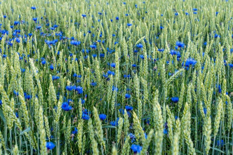 Il campo di grano con il cofano blu fiorisce misto con le paglie verdi fotografia stock libera da diritti
