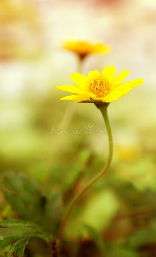 Il campo fresco giallo della margherita, molla di fioritura fiorisce sopra i soli caldi immagini stock