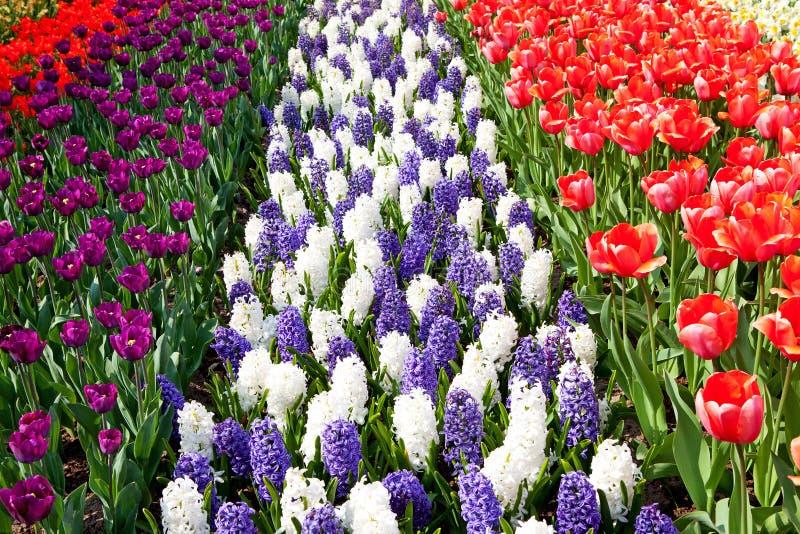 Il campo olandese della lampadina con i tulipani variopinti ed il giacinto fiorisce fotografia stock