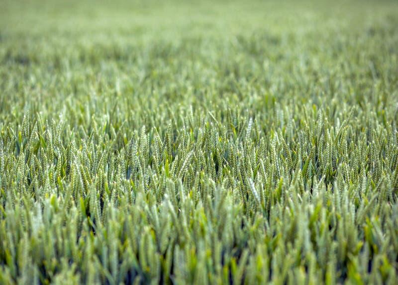 Il campo ricco e sano di nuovo coltiva la vegetazione fotografia stock