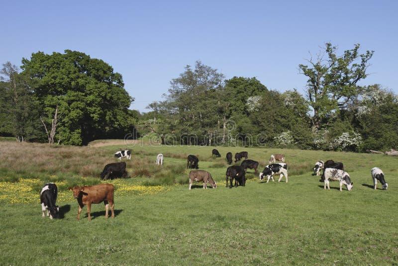Il campo rurale con una varietà intimorisce il pascolo circondato immagine stock