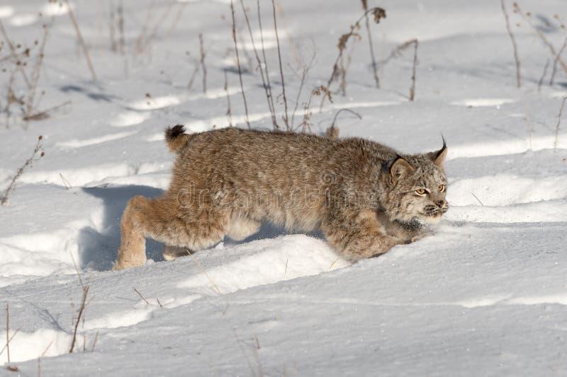 Il canadensis canadese di lynx lynx salta attraverso neve immagine stock libera da diritti