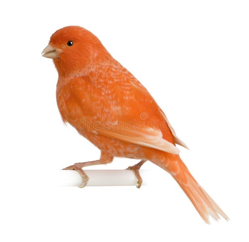 Il canarino rosso, il Serinus canaria, si è appollaiato immagini stock libere da diritti