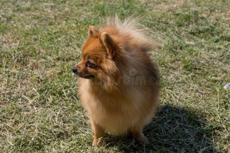 Il cane è giallo, integrale Pomeranian pigmeo tedesco fotografia stock libera da diritti