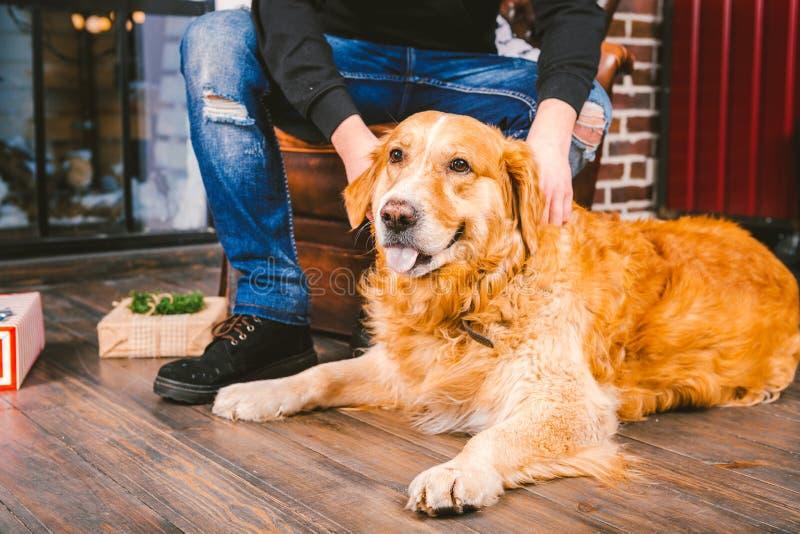 Il cane adulto un golden retriever, abrador si trova accanto alle gambe del ` s del proprietario di un selezionatore maschio All' immagine stock