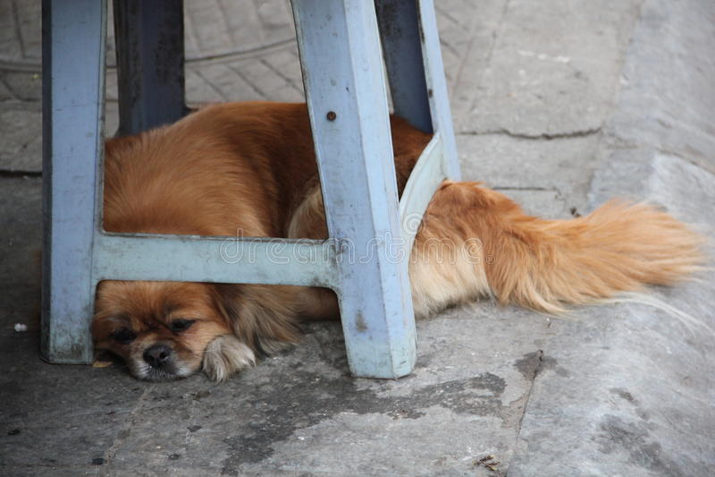 Il cane asiatico arancio sta dormendo immagine stock