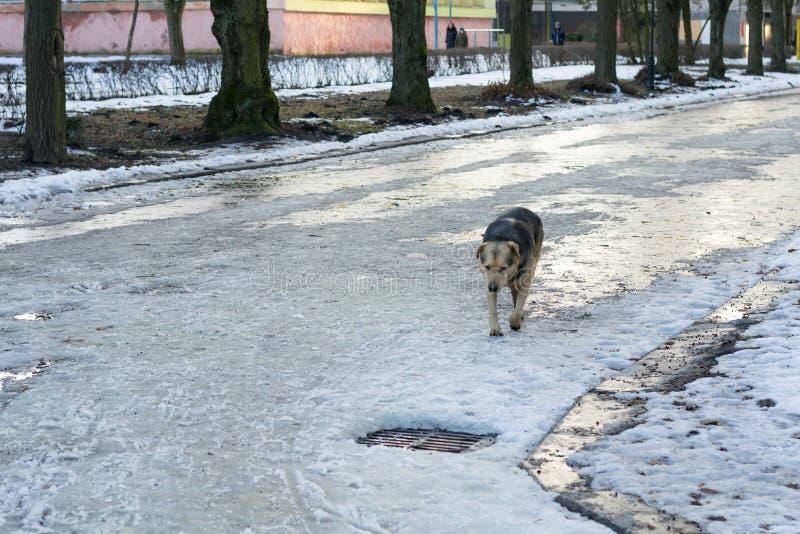Il cane atray senza tetto sta correndo sulla via Animali abbandonati e ripari sovraffollati Il cane disperato sta cercando l'alim immagini stock libere da diritti
