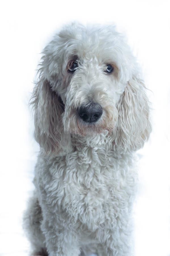 Il cane bianco osserva alla destra della macchina fotografica immagine stock libera da diritti