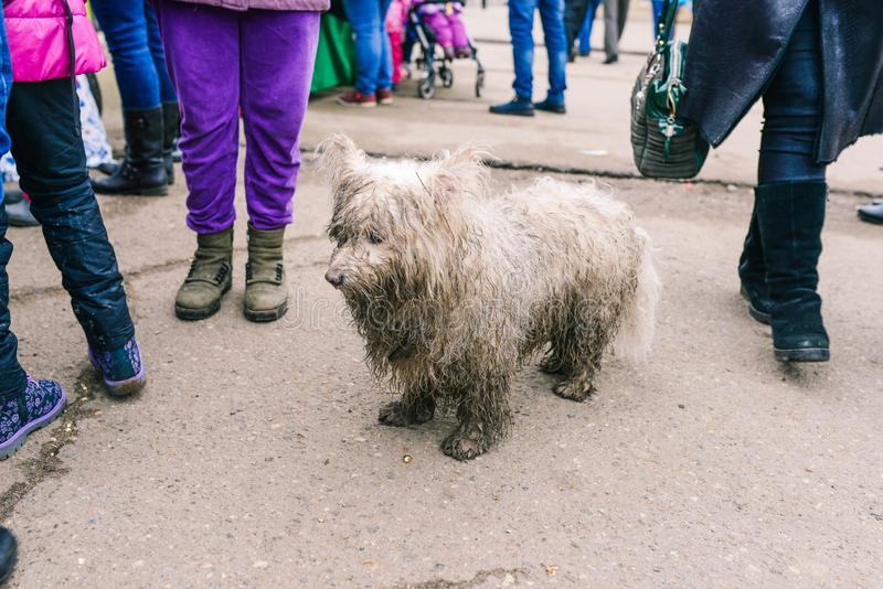 Il cane bianco sta sulla strada Camminata della gente intorno L'animale sta cercando i suoi proprietari nel senso Cane solo in ci fotografie stock