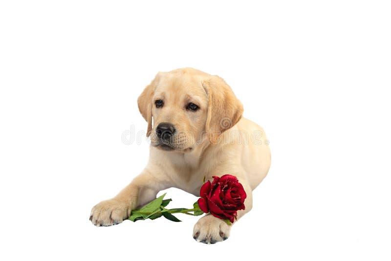 il cane carino tiene rosa rossa e dichiara il suo amore a qualcuno fotografia stock libera da diritti