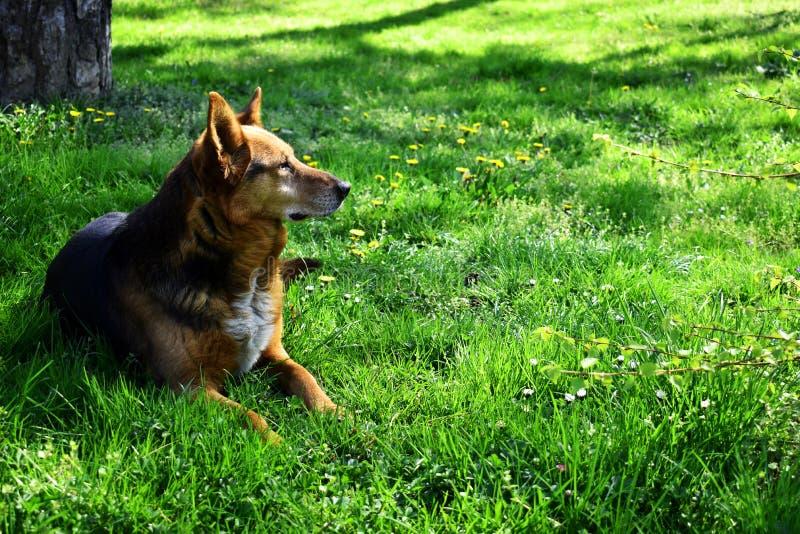 Il cane che risiede in erba allo sguardo della radura nella distanza immagini stock