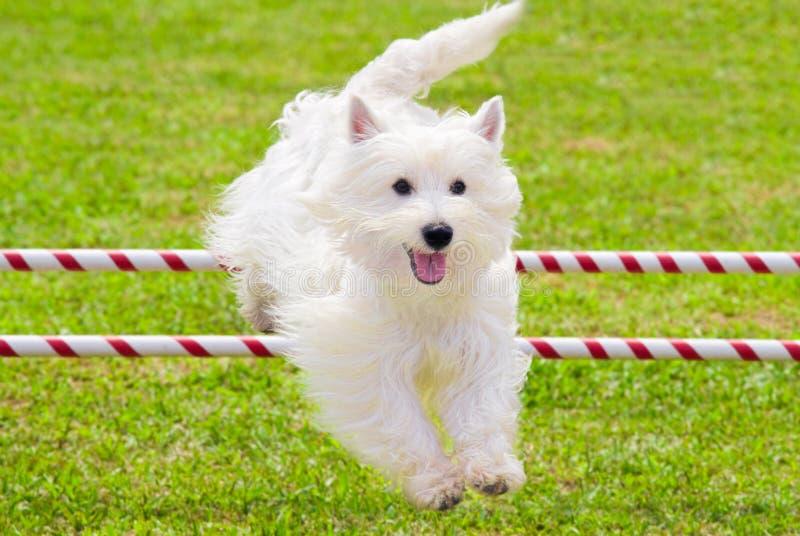 Il cane che salta nella concorrenza di agilità immagine stock libera da diritti
