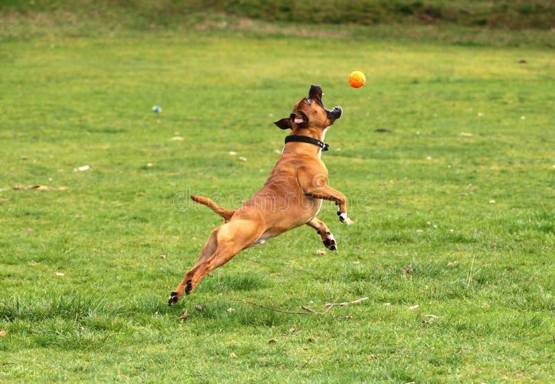 Il cane che salta per una palla fotografia stock libera da diritti