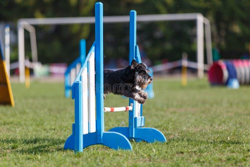 Il cane che salta sopra la transenna nella concorrenza dell'agilità fotografia stock