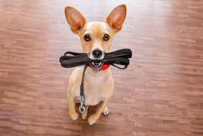 Il cane con il guinzaglio aspetta una passeggiata immagini stock libere da diritti