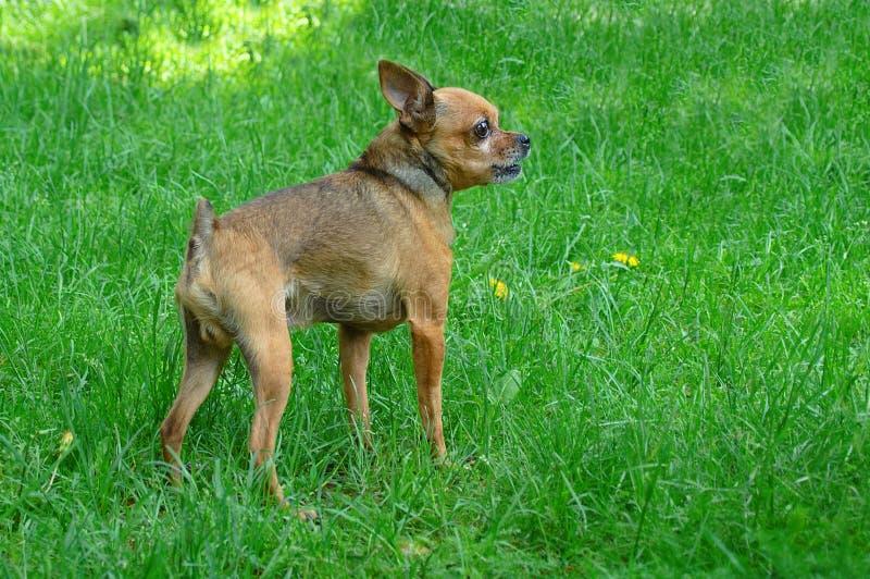 il cane cresce quel terrier su un prato inglese verde fotografia stock