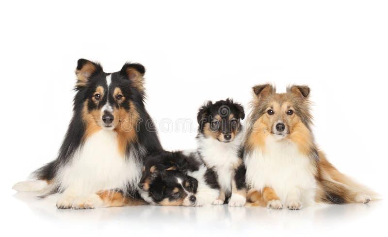 Il cane cresce sheltie fotografie stock libere da diritti