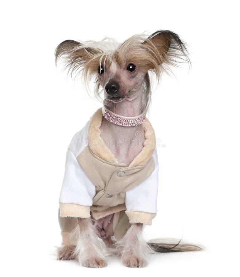 Il cane crestato cinese si è vestito in su, 1 anno immagine stock libera da diritti