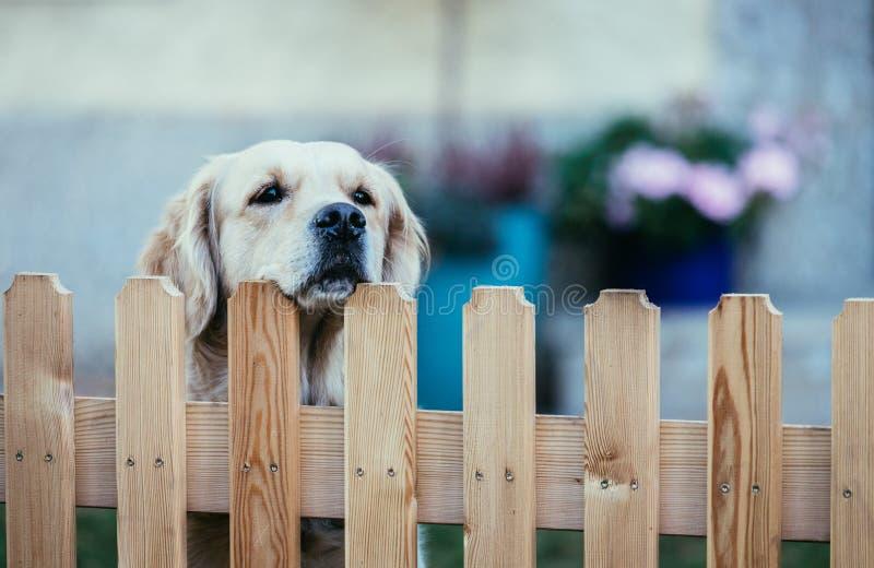 Il cane curioso esamina il recinto del giardino fotografia stock