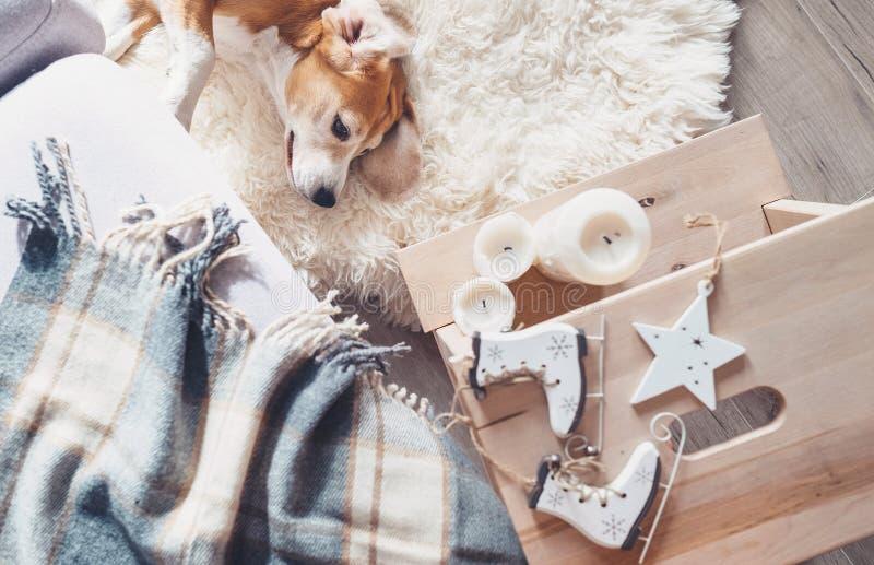 Il cane da lepre pigro si trova sul tappeto della pelliccia in salone, christm domestico accogliente fotografia stock