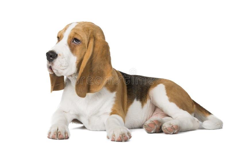 Il cane da lepre si trova su un fondo bianco fotografia stock