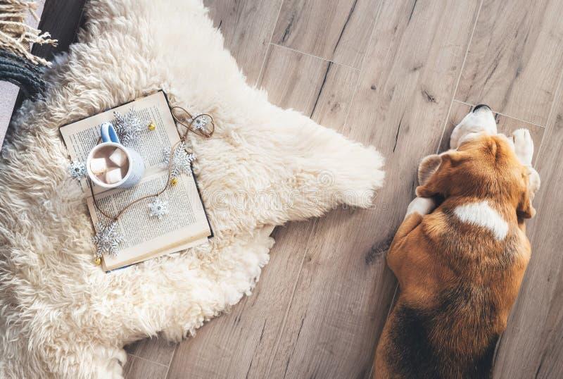 Il cane da lepre si trova sul pavimento del laminat vicino al tappeto della pelle di pecora con immagini stock