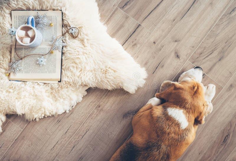Il cane da lepre si trova sul pavimento del laminat vicino al tappeto della pelle di pecora con fotografia stock
