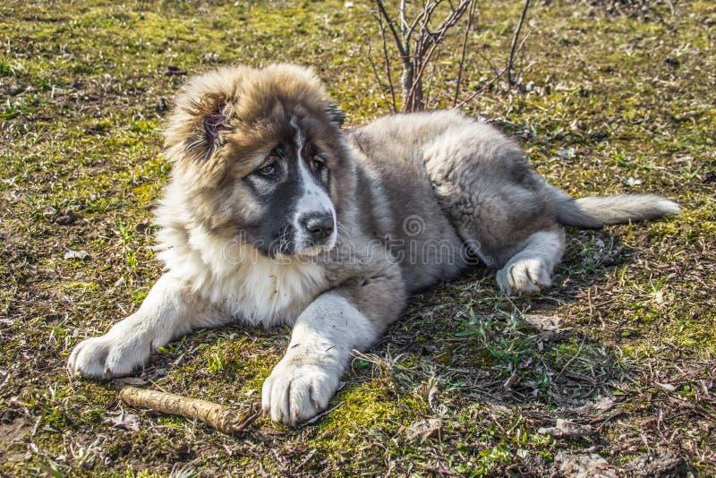Il cane da pastore caucasico lanuginoso sta trovandosi sulla terra e sta rosicchiando fotografia stock libera da diritti