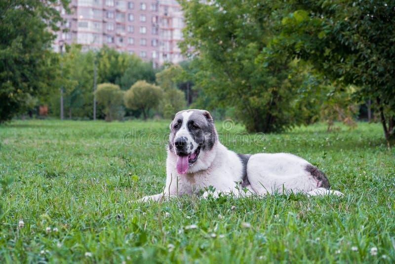 Il cane da pastore centroasiatico, o Alabai, è una razza antica del cane dalle regioni di Asia centrale fotografia stock