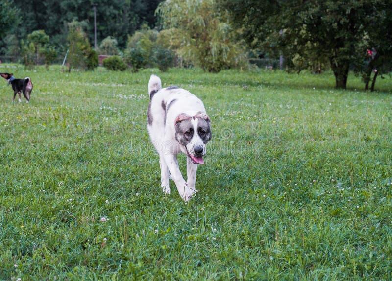 Il cane da pastore centroasiatico, o Alabai, è una razza antica del cane dalle regioni di Asia centrale fotografia stock libera da diritti
