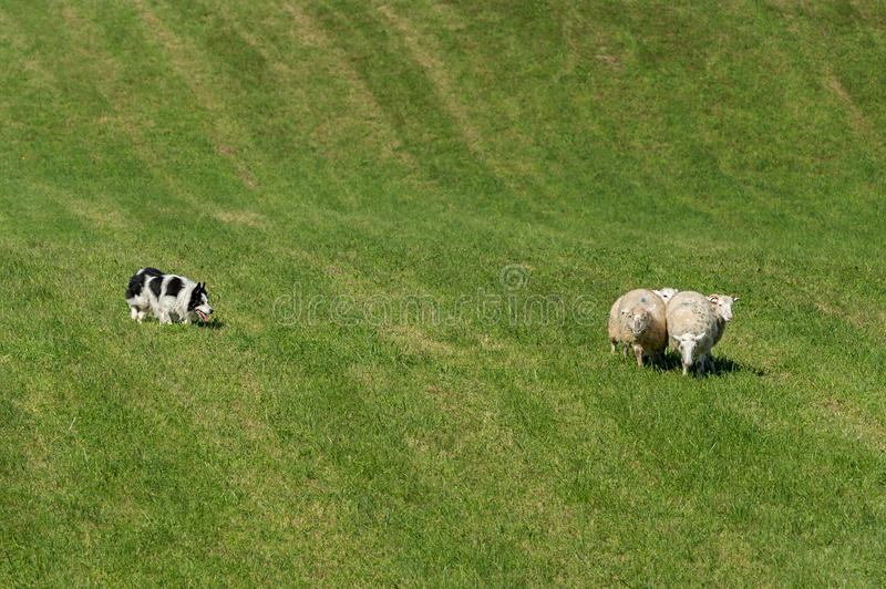 Il cane da pastore raduna nel gruppo di pecore & di x28; Aries& x29 del Ovis; immagini stock libere da diritti