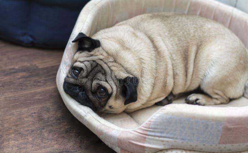 Il cane del carlino dorme sulla sua coperta beige fotografia stock libera da diritti
