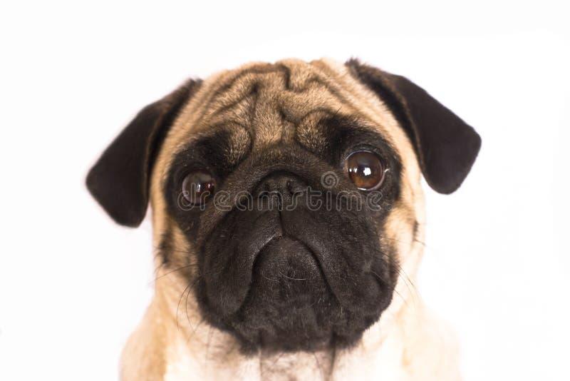 Il cane del carlino si siede e guarda direttamente nella macchina fotografica Grande occhio triste fotografia stock