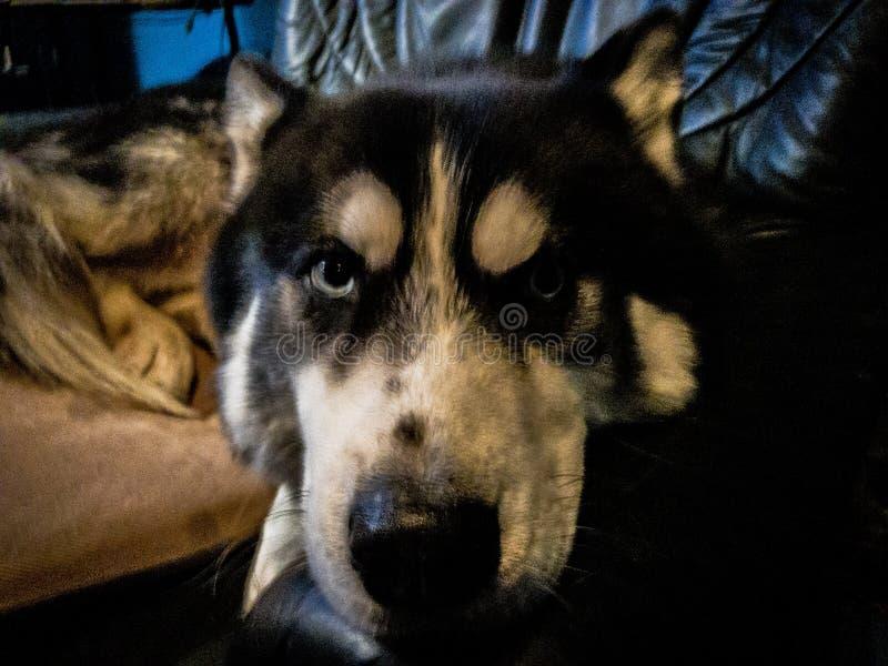 Il cane del husky di Sibirian non è divertito circa questo fotografia stock