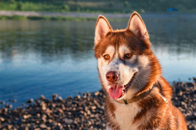 Il cane del husky siberiano ama la vita Il cane rosso sorridente felice del husky si siede sulla riva di bello fiume dell'estate fotografia stock