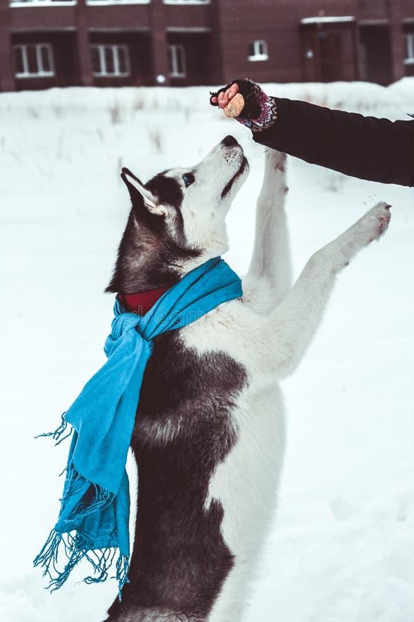 il cane del husky in una sciarpa blu salta per un ossequio nella mano del suo proprietario, addestramento di cani del husky nel p fotografia stock libera da diritti