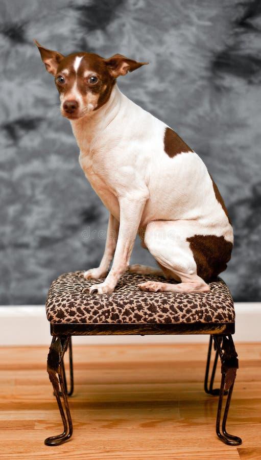 Il cane del terrier di ratto si siede su un resto del piede della pelle del leopardo immagini stock