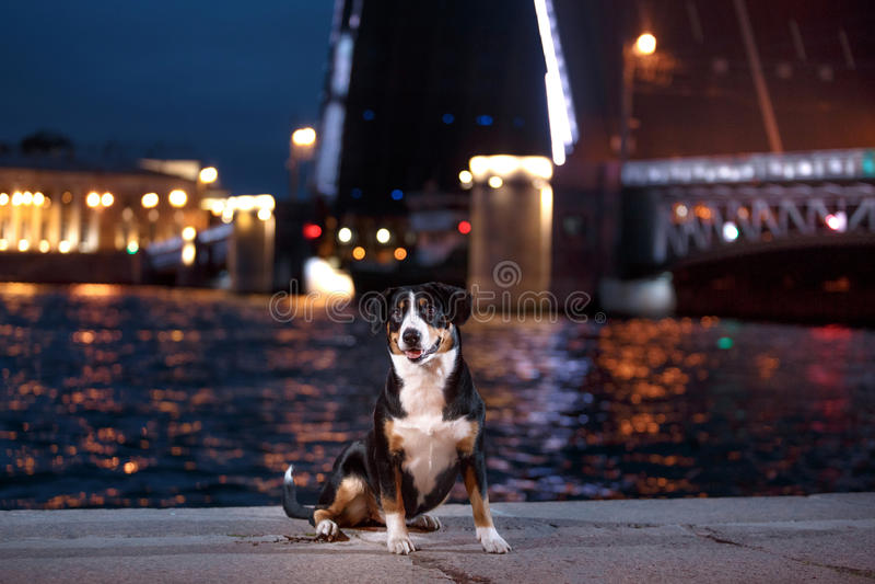 Il cane della montagna di Entlebucher, Sennenhund cammina su una notte immagine stock libera da diritti