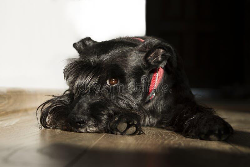 Il cane dello schnauzer indica sul pavimento che esamina la macchina fotografica immagine stock