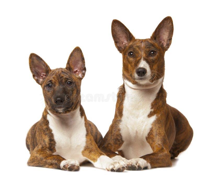 Il cane di basenji due è isolato su fondo bianco immagini stock