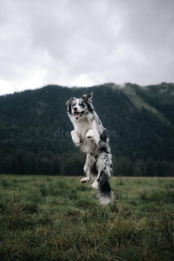 Il cane di border collie salta su nel cielo con il fondo delle montagne immagine stock libera da diritti