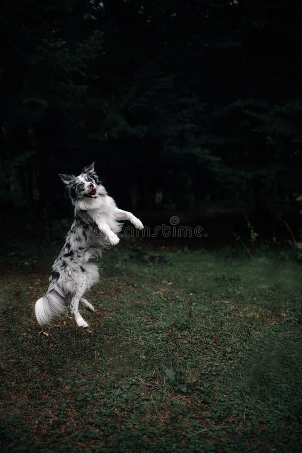 Il cane di border collie salta su nel cielo con fondo scuro fotografia stock